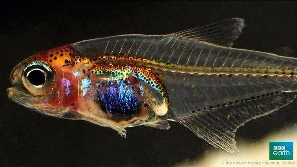 Cyanogaster noctivaga